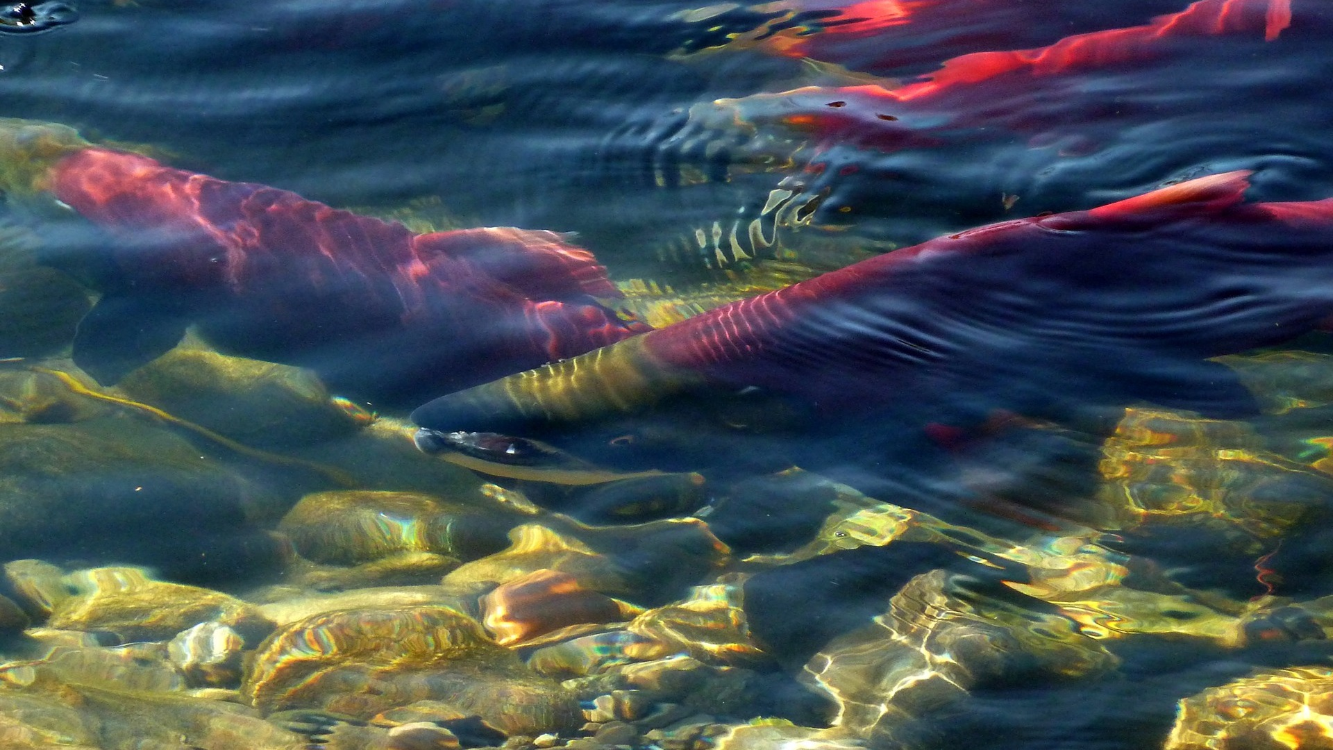 The ongoing tragedy of the disappearing salmon