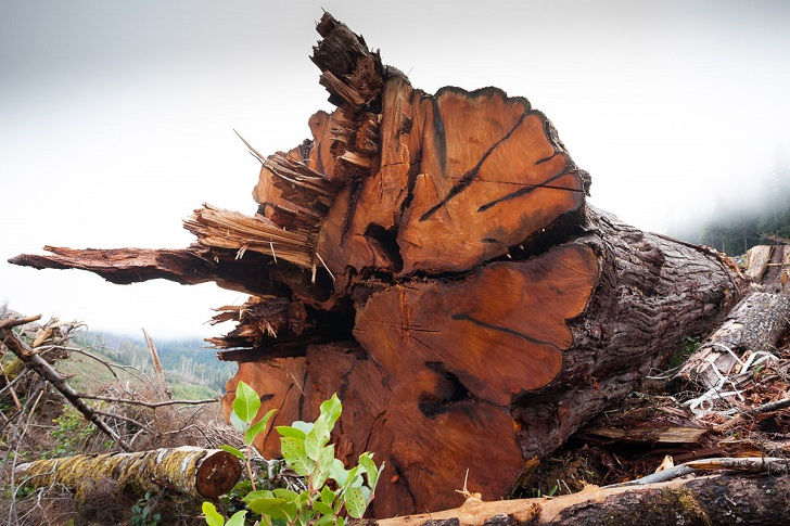 Injunction denied! Courts should not be at the centre of forestry politics